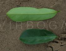 Annona muricata - Upper and lower surface of leaf - Click to enlarge!