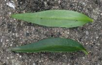 Antirrhinum hispanicum - Upper and lower surface of leaf - Click to enlarge!