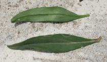 Antirrhinum majus - Upper and lower surface of leaf - Click to enlarge!