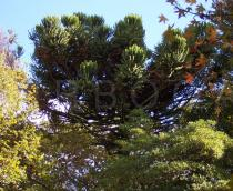 Araucaria araucana - Crown - Click to enlarge!