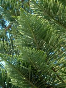 Araucaria heterophylla - Branches - Click to enlarge!
