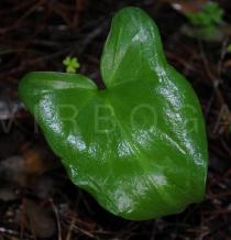 Arisarum vulgare - Upper surface of leaf - Click to enlarge!