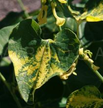 Aristolochia clematitis - Upper surface of leaf - Click to enlarge!