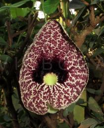 Aristolochia littoralis - Flower - Click to enlarge!