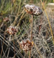 Armeria pungens - Withered inflorescence - Click to enlarge!