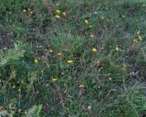 Arnica montana - Habit - Click to enlarge!