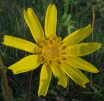 Arnica montana - Flower head - Click to enlarge!