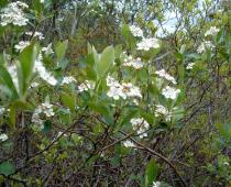 Aronia melanocarpa - Flowers - Click to enlarge!