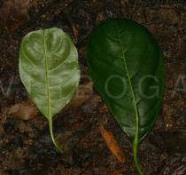 Artocarpus heterophyllus - Upper and lower surface of leaf - Click to enlarge!