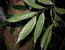 Artocarpus petelotii - Lower surface of leaves - Click to enlarge!
