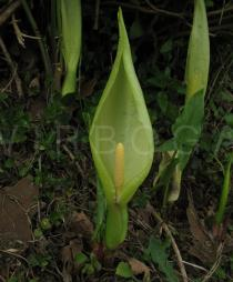 Arum italicum - Inflorescence - Click to enlarge!