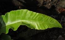 Asplenium scolopendrium - Upper surface of frond - Click to enlarge!