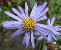 Aster amellus - Flower head - Click to enlarge!