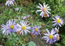 Aster amellus - Branch with flower heads - Click to enlarge!