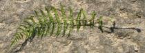 Athyrium filix-femina - Lower surface of fertile frond - Click to enlarge!