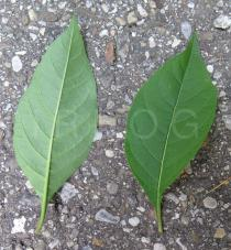 Atropa belladonna - Upper and lower surface of leaves - Click to enlarge!