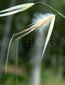 Avena barbata - Spikelet - Click to enlarge!