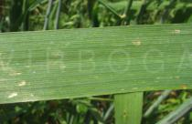 Avena sativa - Upper surface of leaf - Click to enlarge!