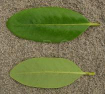 Avicennia germinans - Upper and lower side of leaf - Click to enlarge!