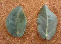 Ayenia erecta - Upper and lower surface of leaf - Click to enlarge!