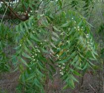Azadirachta indica - Branch - Click to enlarge!