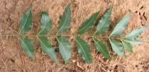 Azadirachta indica - Upper surface of leaf - Click to enlarge!