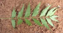 Azadirachta indica - Lower surface of leaf - Click to enlarge!