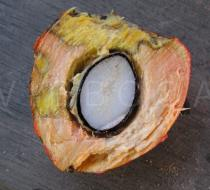 Bactris gasipaes - Fruit cross section - Click to enlarge!