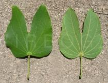 Bauhinia forficata - Upper and lower surface of leaf - Click to enlarge!