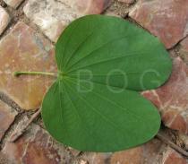 Bauhinia variegata - Upper side of leaf - Click to enlarge!