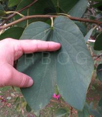 Bauhinia variegata - Upper surface of leaf - Click to enlarge!