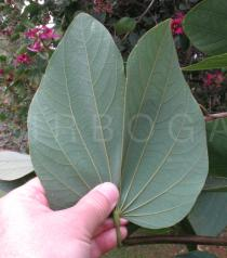 Bauhinia variegata - Lower surface of leaf - Click to enlarge!