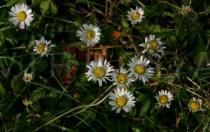 Bellis perennis - Habit - Click to enlarge!
