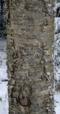 Betula alleghaniensis - Bark - Click to enlarge!