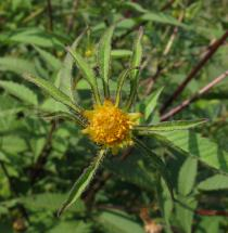 Bidens frondosa - Flower - Click to enlarge!