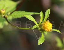 Bidens tripartita - Flower head, side view - Click to enlarge!