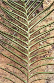 Blechnum orientale - Lower surface of fertile pinna - Click to enlarge!