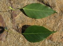 Brachychiton populneus - Upper and lower side of leaf - Click to enlarge!