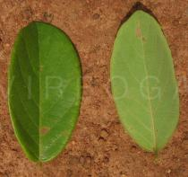 Bridelia ferruginea - Upper and lower surface of leaf - Click to enlarge!