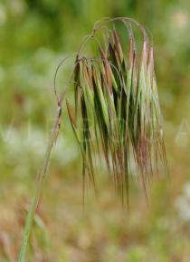 Bromus madritensis - Panicle - Click to enlarge!