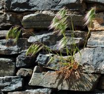 Bromus madritensis - Habit on stone wall - Click to enlarge!