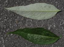Buddleja davidii - Upper and lower surface of leaves - Click to enlarge!