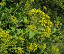 Bupleurum fruticosum - Inflorescence, side view - Click to enlarge!