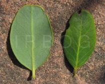 Byrsonima crassifolia - Upper and lower surface of leaf - Click to enlarge!