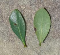 Byrsonima gardneriana - Upper and lower surface of leaves - Click to enlarge!