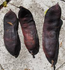 Caesalpinia ferrea - Pods - Click to enlarge!
