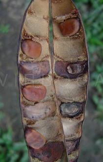 Caesalpinia pulcherrima - Opened pod with seeds - Click to enlarge!