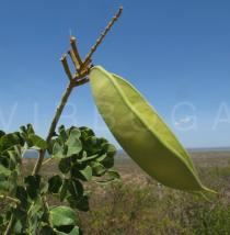 Caesalpinia pyramidalis - Pods - Click to enlarge!