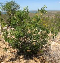Caesalpinia pyramidalis - Habit - Click to enlarge!