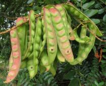 Caesalpinia spinosa - Pods - Click to enlarge!